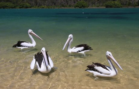 Feed-the-Pelicans